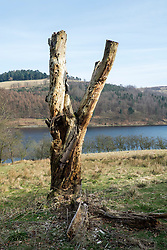 """Looking like a giant childs cataputly the remains of an old dead tree stand on the western bank of the Derwnt Reservoir in Derbyshire, England. The reservoir  is the middle of three reservoirs in the Upper Derwent Valley, the higher reservoir being Howden to the North and the lower being Ladybower to the south. Between them they provide practically all of Derbyshire's water, as well as to a large part of South Yorkshire and as far afield as Nottingham and Leicester.<br /> Begun in 1902 this neo-Gothic solid masonry dam wall is built from huge stones that were transported along a specially created railway from the quarries at Grindleford. Over 1,000 workers lived in a specially constructed and self-contained town of Birchinlee also known as """"Tin Town"""". Derwent reservoir began being filled in November 1914, and overflowed for the first time in January of 1916. Covering an area of 70.8 hectares (175 acres) and at its deepest point is 34.7 metres (114 ft) the dam can support a total of 9.64 million cubic metres of water.<br /> For 6 weeks during the Second World War the reservoir was used by the pilots of the 617 Squadron """"the Dambusters"""" to practice their low-level flying skills needed for Operation Chastise, because of the Derwents similarity to the operations German target. In for 2 weeks in 1954 the the sound of Lancaster bomber engines could be heard again over the Derwent as the reservoir stood in for the German dams a second time. This time for the filming of the """"The Dambusters"""" starring Richard Todd as Guy Gibson. The west tower of the dam wall is home to Derwent Valley Museum and includes a permanent memorial to 617 Squadron to which is visible even when the Museum is closed. <br /> <br /> 22  March 2015 Image © Paul David Drabble www.pauldaviddrabble.co.uk"""