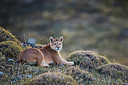 A puma (Puma con color) also known as a mountain lion or cougar, laying down in flechilla grass on a hillside, Patagonia, Torres del Paine, Chile, South America