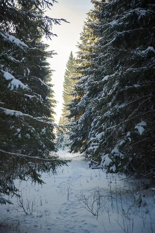 Snowy path between spruce tree (Picea abies) stands in sunny morning, Tīreļpurvs, Latvia Ⓒ Davis Ulands   davisulands.com