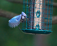 Blue Jay Image taken with a Nikon D800 camera and 600 mm f/4 VR lens.