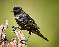 European Starling (Sturnus vulgaris). Campos Viejos, Texas. Image taken with a Nikon D3x camera and 600 mm f/4 VR lens.