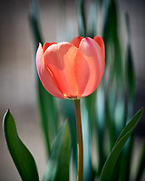 Tulip Flower. Image taken with a Nikon D5 camera and 600 mm f/4 VR lens.