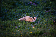 A red fox hunting in Yellowstone's Hayden Valley