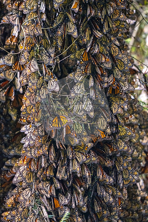 Millions of monarch butterflies mass together on oyamel fir tree branches at the Sierra Chincua Biosphere Reserve January 20, 2020 near Angangueo, Michoacan, Mexico. The monarch butterfly migration is a phenomenon across North America, where the butterflies migrates each autumn to overwintering sites in Central Mexico.
