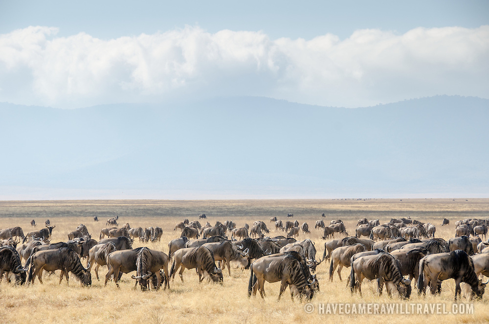 A large herd of wildebeest grazing at Ngorongoro Crater in the Ngorongoro Conservation Area, part of Tanzania's northern circuit of national parks and nature preserves.