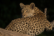 Young female leopard and mother leopard interact in tree.