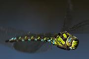 Male southern hawker dragonfly (Aeshna cyanea) in flight. Dorset, UK.