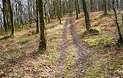 Narrow track climbs steeply through winter woodland, Exmoor national park, Devon, England
