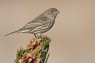 House Finch - Carpodacus mexicanus - female