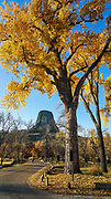 In mid October, bright yellow cottonwood tree leaves frame Devils Tower in Belle Fourche River Campground, in Devils Tower National Monument, Wyoming, USA. Devils Tower is a butte of intrusive igneous rock exposed by erosion in the Bear Lodge Mountains, part of the Black Hills, near Hulett and Sundance in Crook County. Devils Tower (aka Bear Lodge Butte) rises dramatically 1267 feet above the Belle Fourche River, standing 867 feet from base to summit, at 5112 feet above sea level. Devils Tower was the first United States National Monument, established on September 24, 1906 by President Theodore Roosevelt.