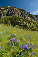 There were plenty of wildflowers blooming in the upper reaches of Tongue River Canyon.