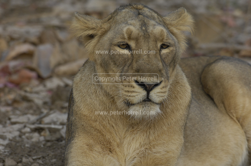 Asiatic lions (anthera leo persica) at Gir Wildlife sanctuary.