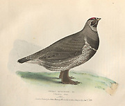 Male spruce grouse or Canada grouse (Falcipennis canadensis syn Tetrao canadensis) color plate of North American birds from Fauna boreali-americana; or, The zoology of the northern parts of British America, containing descriptions of the objects of natural history collected on the late northern land expeditions under command of Capt. Sir John Franklin by Richardson, John, Sir, 1787-1865 Published 1829