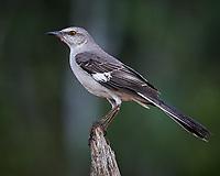 Northern Mockingbird (Mimus polyglottos). Campos Viejos, Texas. Image taken with a Nikon D4 camera and 600 mm f/4 VR lens