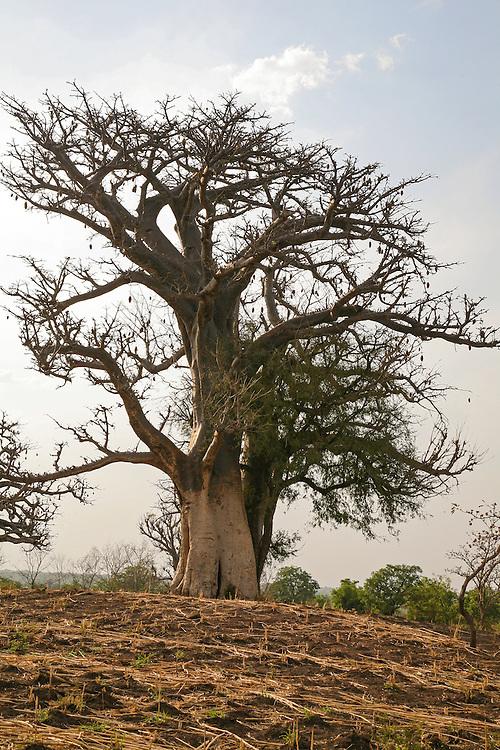 Baobab tree (Adansonia digitata) in the Upper West Region of Ghana West Africa