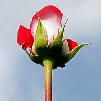South America, Ecuador, Cayambe. Single long-stemmed rose against sky.