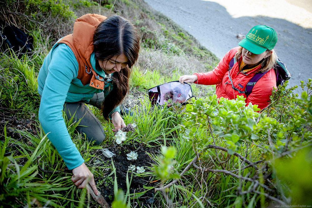 Bianca Hayashi of CDFW and Jenny Hutchinson of U.S.FWS replanting some of the recovered succulents as part of Operation Free the Dudleya.