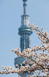 Cherry Blossom against Sky Tree Tower, Tokyo, Japan