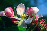 AF5CPD Spring apple blossom flower close up