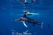 striped marlin, Kajikia audax (formerly Tetrapturus audax ), feeding on sardines, or pilchards, Sardinops sagax, off Cabo San Lucas, Baja California, Mexico ( Eastern Pacific Ocean )
