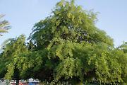 Prosopis alba - white carob tree
