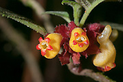 The beautiful flowers of Alloplectus sp. from the cloud forest close to MIndo, Ecuador.