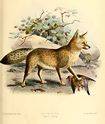 "The Cape fox (Vulpes chama [Here as Canis chama]), also called the asse, cama fox or the silver-backed fox, is a small fox, native to southern Africa. It is also called a South African version of a fennec fox due to their big ears. It is the only true fox occurring in sub-Saharan Africa, and it retains primitive characteristics of Vulpes because it diverged early in the evolutionary history of the group. From the Book Dogs, Jackals, Wolves and Foxes A Monograph of The Canidae [from Latin, canis, ""dog"") is a biological family of dog-like carnivorans. A member of this family is called a canid] By George Mivart, F.R.S. with woodcuts and 45 coloured plates drawn from nature by J. G. Keulemans and Hand-Coloured. Published by R. H. Porter, London, 1890"