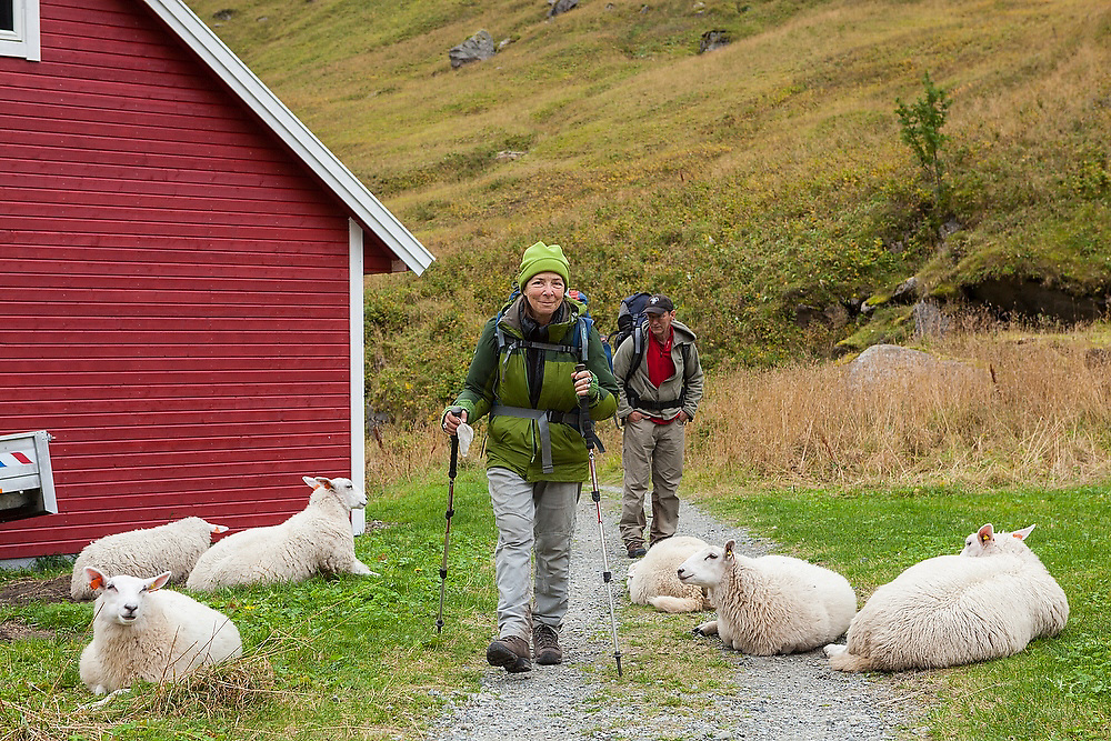 Liana (front) and Parmenter Welty hike past a herd of sheep lying across a country road in Vindstad, Moskenesoya, Lofoten Islands, Norway.