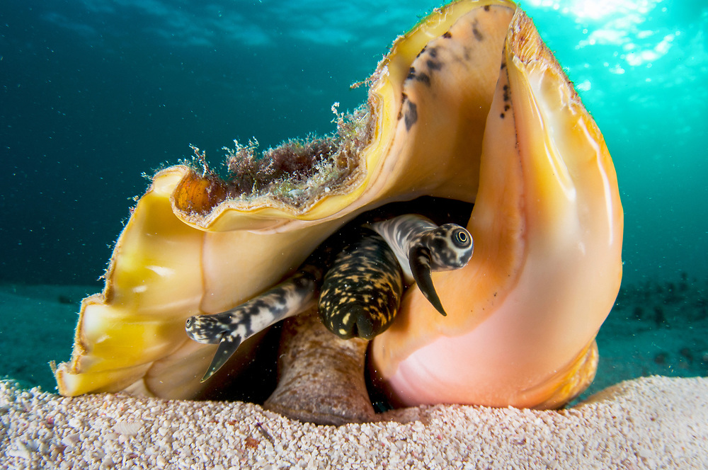 A queen conch (Lobatus gigas) using her single foot to walk along the seabad. Queen conch have eyes on the ends of stalks, a mouth at the end of a tube and a single foot - all protected by a shell that is harder than concrete. Image made in The Bahamas.