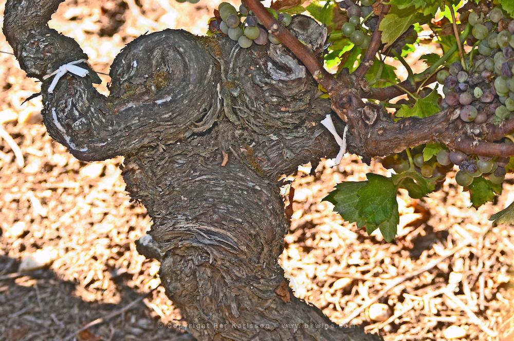 A 103 (very) year old Semillon vine - Chateau Haut Bergeron, Sauternes, Bordeaux