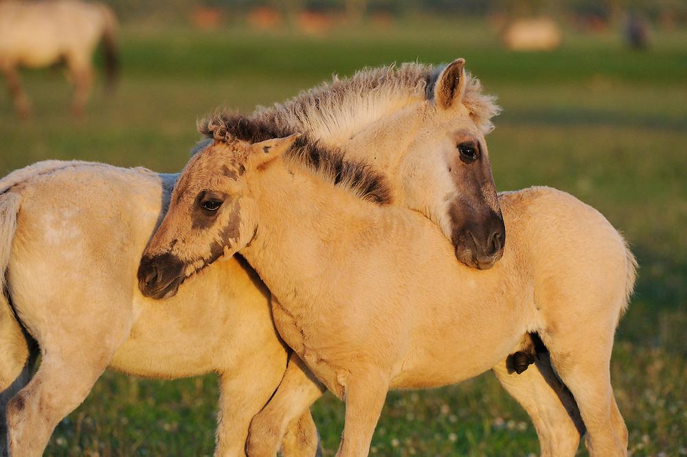 Konik horse foals engaged in mutual grooming. Oostvaardersplassen, Netherlands. June. Mission: Oostervaardersplassen, Netherlands, June 2009.