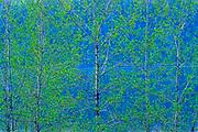 Aspen foliage in spring. Simon Lake Park Conservation Area.<br />Greater Sudbury<br />Ontario<br />Canada