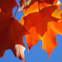 """Sunlight Serenade"" <br /> <br /> Bright orange maple leaves set against a bright blue sky."