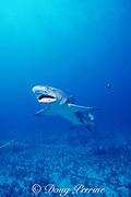 lemon shark, Negaprion brevirostris, captured on longline, Bahamas ( Western Atlantic Ocean )