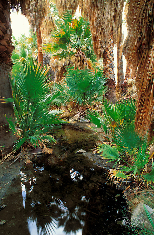 California Fan Palms and spring at Mountain Palm Springs, Anza-Borrego Desert State Park, California