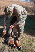 Hunter sorting the birds from his days shooting near Minot, North Dakota, United States. Prior to hanging the pheasants and grouse he has shot, the birds must have their guts removed. Failure to clean the birds organs will result in the insides rapidly going off and contaminating the game meat. It is an unpleasant and strong smelling job, but all part fo the process of having wild meat in the hunters freezers for the year ahead.