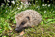 Hedgehog - Erinaceus europaeus in country garden