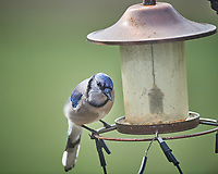 Blue Jay at an empty bird feeder. Image taken with a Nikon D5 camera and 600 mm f/4 VR lens (ISO 180, 600 mm, f/4, 1/1250 sec)