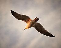 Westerm Gull. Image taken with a Nikon D3s camera and 70-300 mm VR lens.