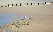 Man digging for worms on the beach, Bridlington, Yorkshire, England