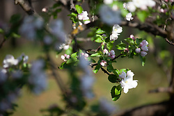 THEMENBILD - Knospen eines blühenden Apfelbaum, aufgenommen am 23. April 2018, Kaprun, Österreich // Buds of a blossoming apple tree on 2018/04/23, kaprun, Austria. EXPA Pictures © 2018, PhotoCredit: EXPA/ Stefanie Oberhauser