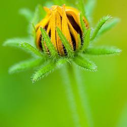 Black-eyed susan bud. Portsmouth, New Hampshire.