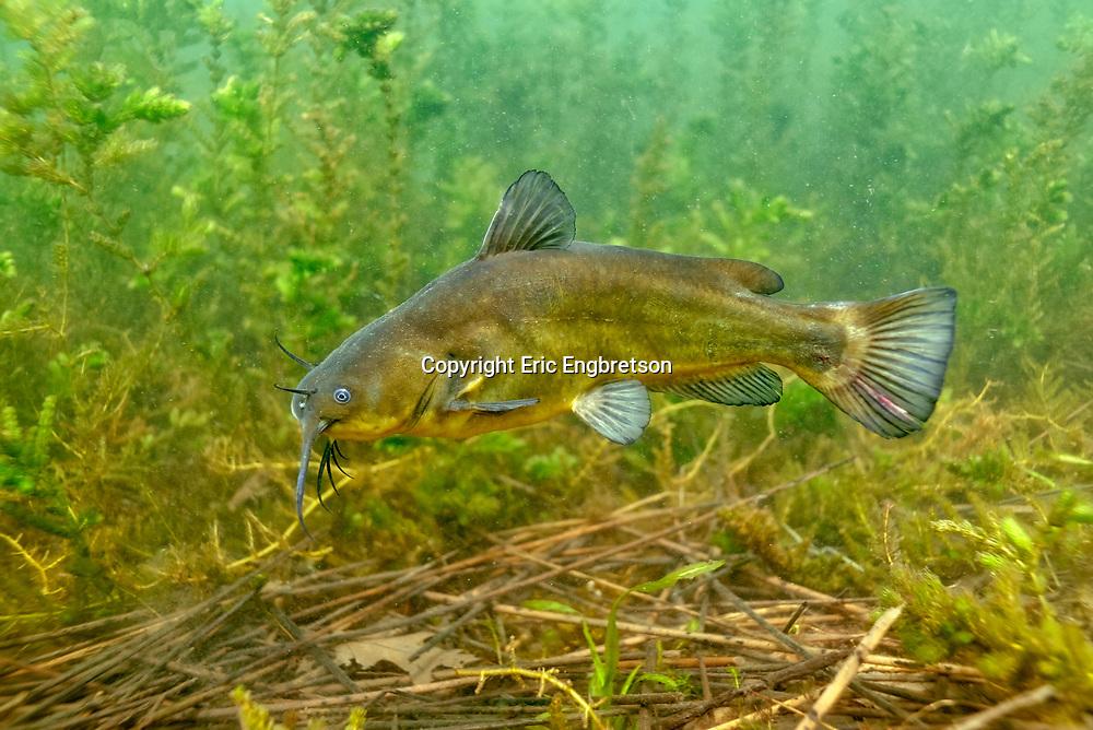 Black Bullhead <br /> <br /> Engbretson Underwater Photography