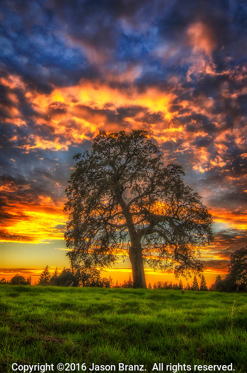 Oak tree in a grassy field at sunset, Sacramento County, California.