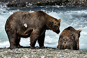 A large Grizzly bear boar with a wound from fighting fishes for chum salmon in the upper McNeil River falls at the McNeil River State Game Sanctuary on the Kenai Peninsula, Alaska. The remote site is accessed only with a special permit and is the world's largest seasonal population of brown bears.