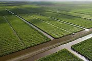 Sugar Cane production<br /> Coastal area<br /> Miconi Mahaica<br /> GUYANA<br /> South America