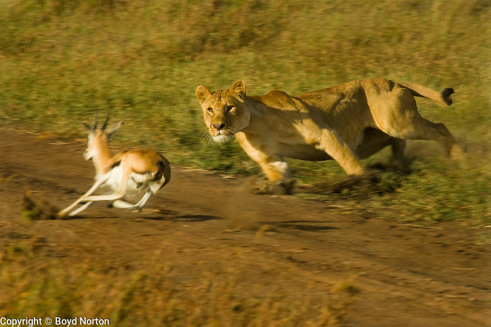 The lioness was hiding in the grass and surprised the unsuspecting gazelle. She got it.