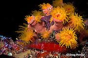 spotted hawkfish, Cirrhitichthys oxycephalus, resting under orange cup coral, Tubastrea sp., at night, Maaya Thila; Ari Atoll, Maldives ( Indian Ocean )
