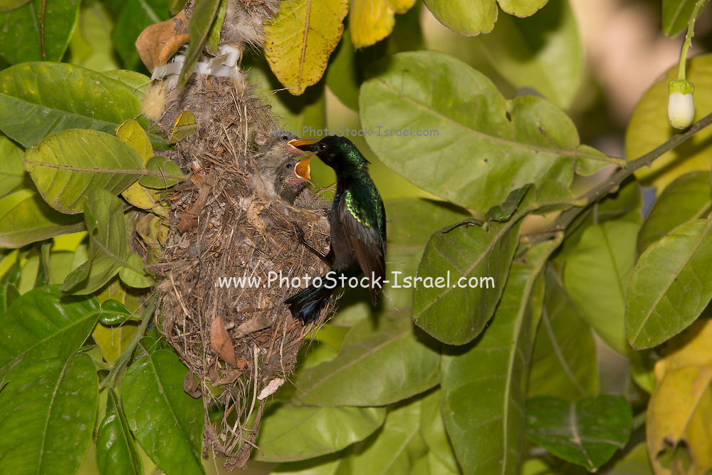 Male Palestine Sunbird or Northern Orange-tufted Sunbird (Cinnyris oseus) feeding young hatchlings in a nest. Photographed at the Ein Afek nature reserve, Israel