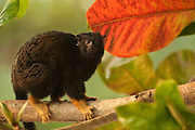 Golden-handed Tamarin (Saguinus midas) CAPTIVE. Part of LEGAL pet trade.<br /> Native to wooded areas along the Amazon River in Brazil, Guyana, French Guiana, Suriname, and Venezuela.<br /> Georgetown<br /> GUYANA<br /> South America
